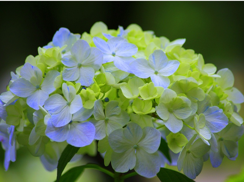 blue hydrangea with green