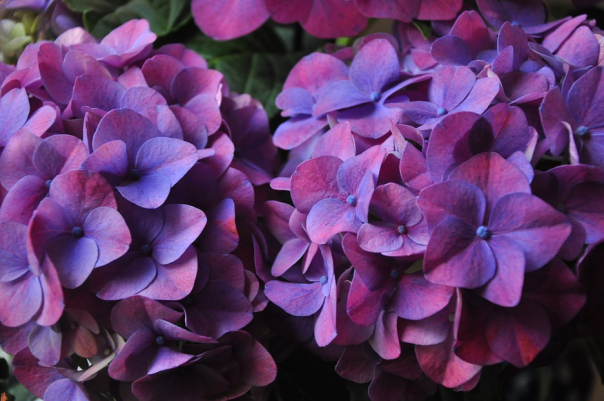 dark purple hydrangea flowers with some blue