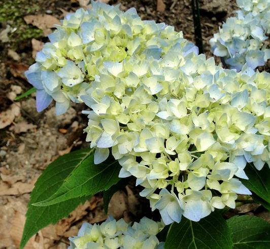blue hydrangea bud