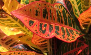 pink yellow green croton leaves