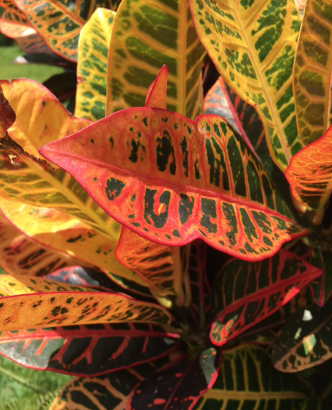 pink yellow green croton leaves
