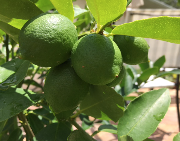 persian lime fruit on tree