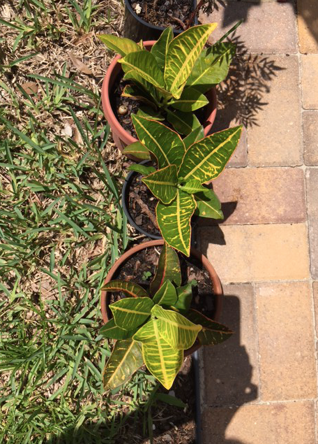 New croton plants in pots