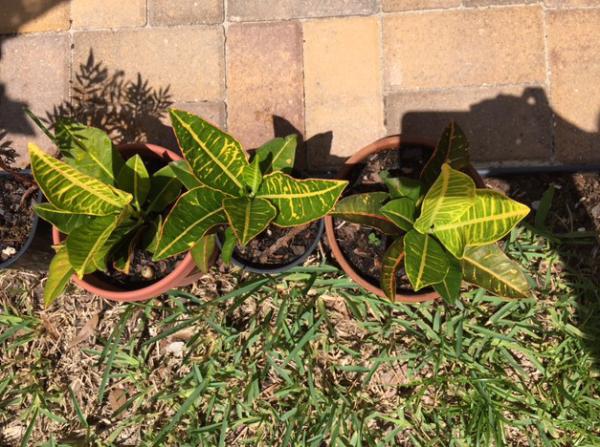 propagated croton plants