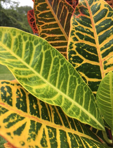 colorful croton leaves