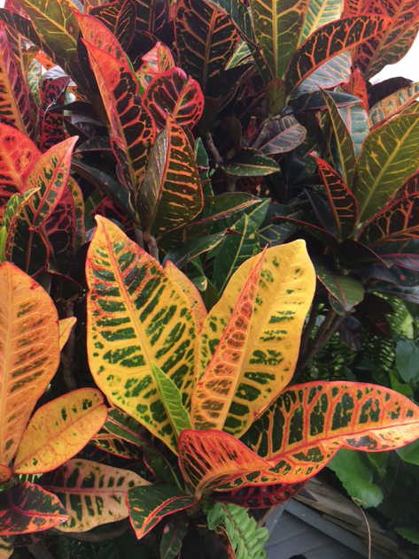 colorful croton leaves