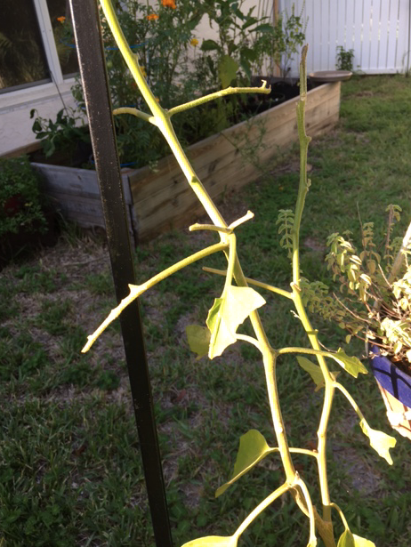 Bare eggplant after tomato worm ate leaves