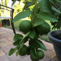 What I've Learned From Growing a Lime Tree