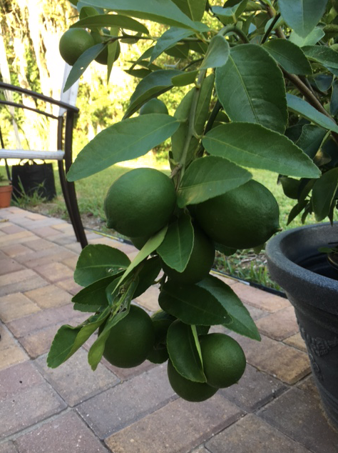 limes on the branch