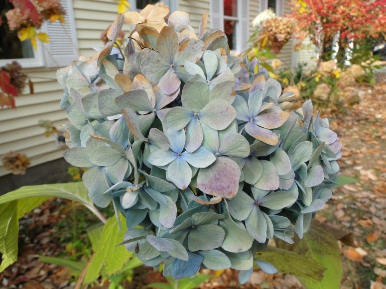 blue hydrangea flower in fall
