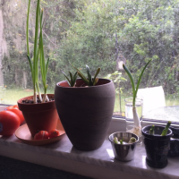 Scallions On The Windowsill and a Hurricane Irma Lesson Learned