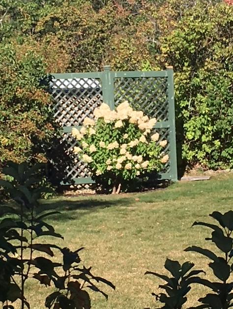 hydrangea shrub with white flowers