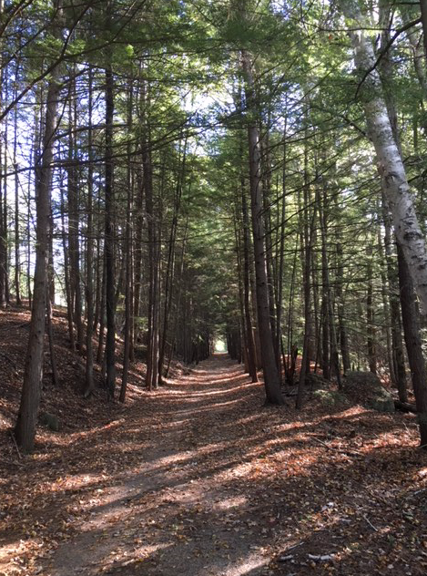 walking trail among tall pine trees