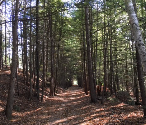 walking trail among tall pine trees