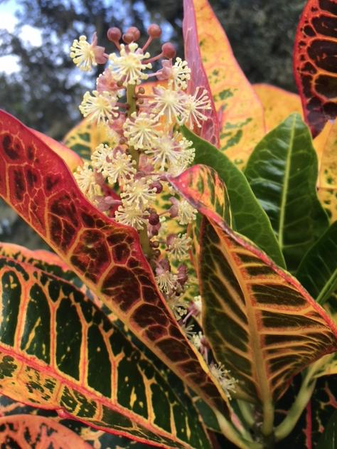 flowering croton