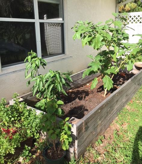 eggplant in raised bed garden