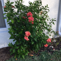 Must Plant More Fast Growing Tropical Hibiscus Plants