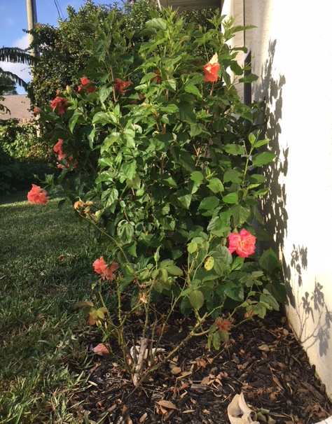orange hibiscus plant and rose bush