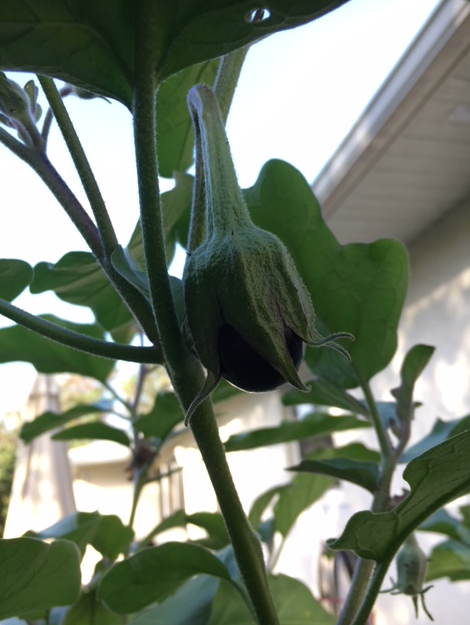 title eggplant beginning to grow
