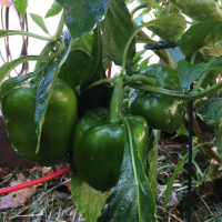 October and November Vegetable Gardening in Florida
