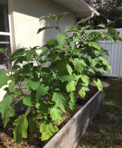 eggplant tall plant