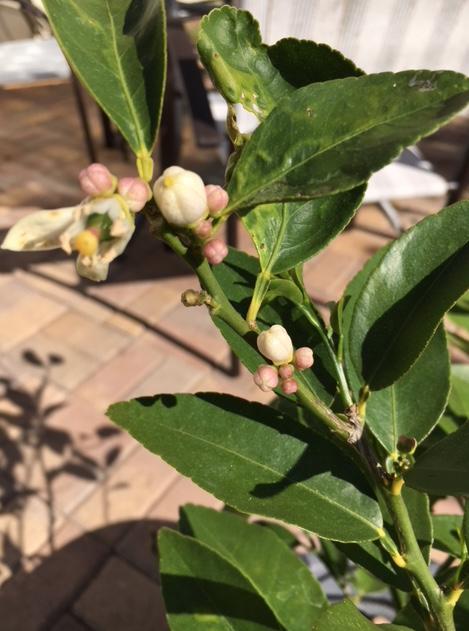 Lime tree in December