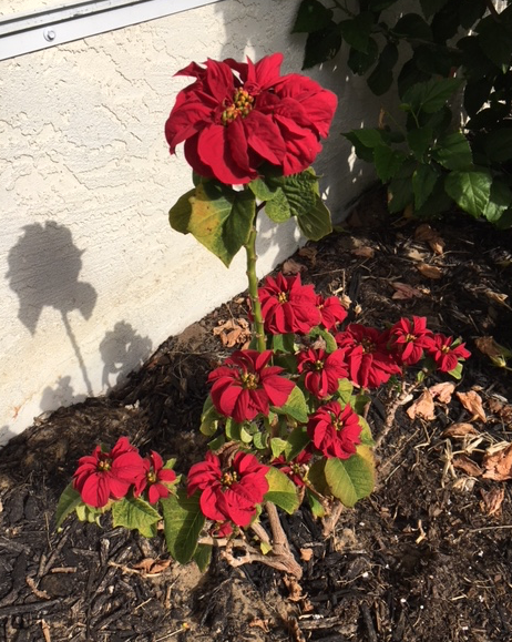 curly poinsettia in the ground