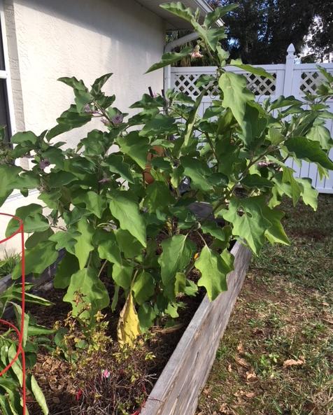 eggplant tall tree