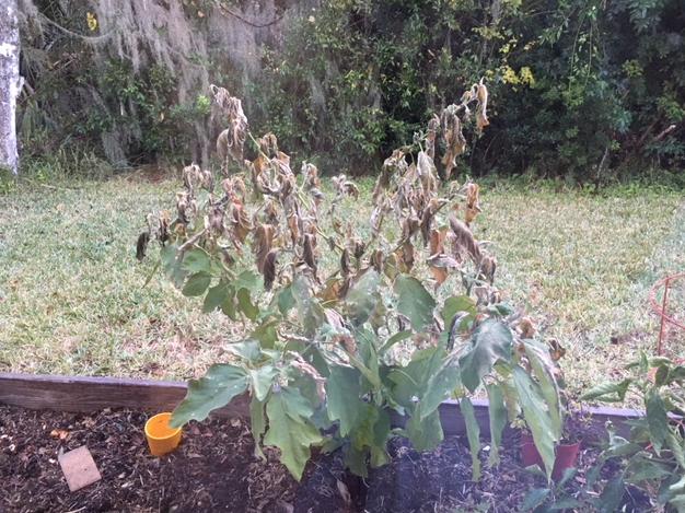 frozen eggplant plant