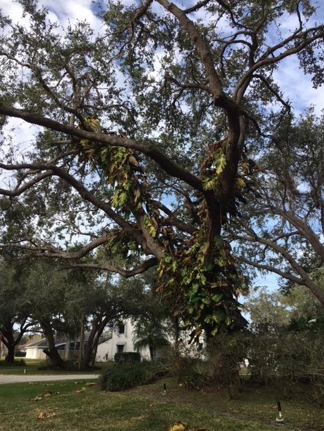 big leaves in oak tree turned brown