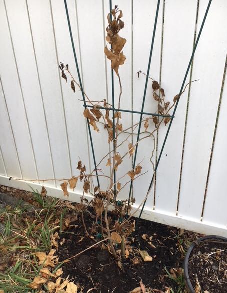 dead plant due to freeze