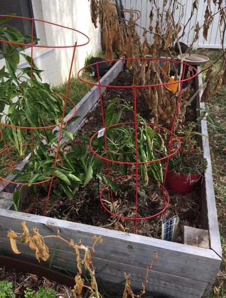 dead eggplant leaves after freeze