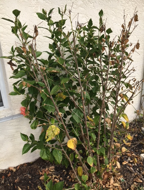 Hibiscus front part dead