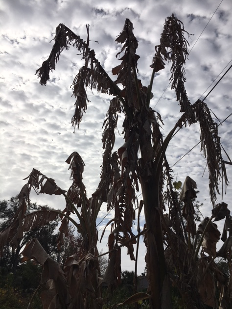 dying banana trees after freeze