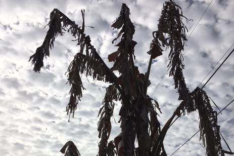 dead brown leaves plants after freeze