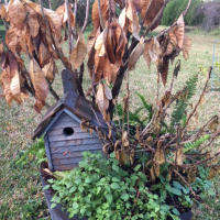 Lots of Brown Plants After Florida Freeze