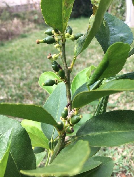 little limes