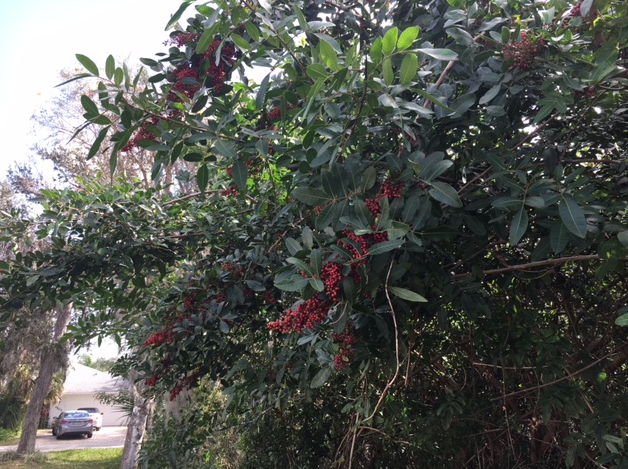 Dahoon holly tree with red berries