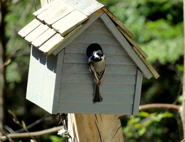 chickadee in birdhouse