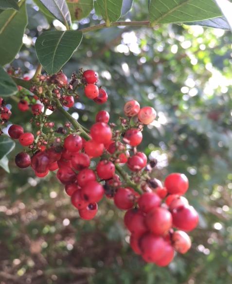 red berries of Brazilian pepper