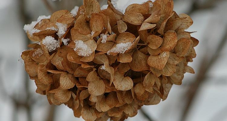 dried hydrangea flower
