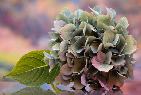 old hydrangea flower