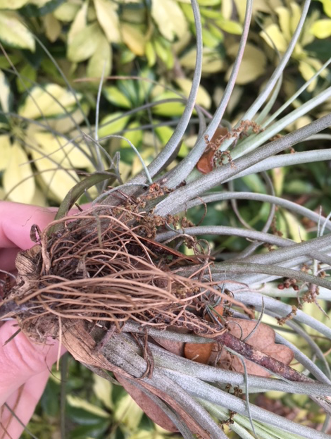 roots of air plant