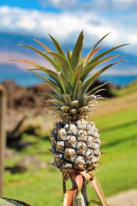 pineapple bromeliad