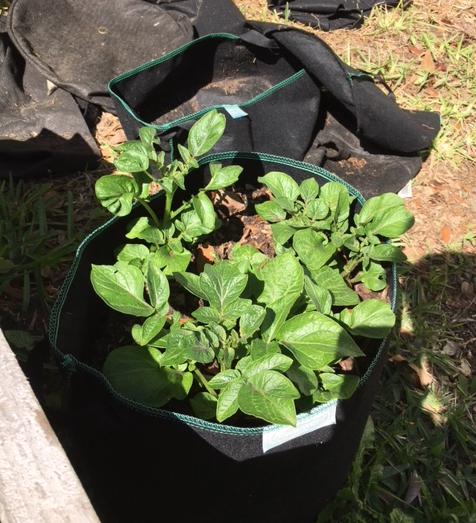 Potatoes growing in fabric pot