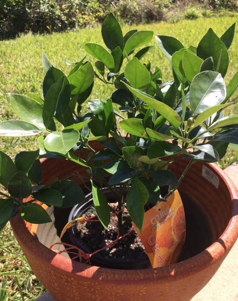 little navel orange tree in pot