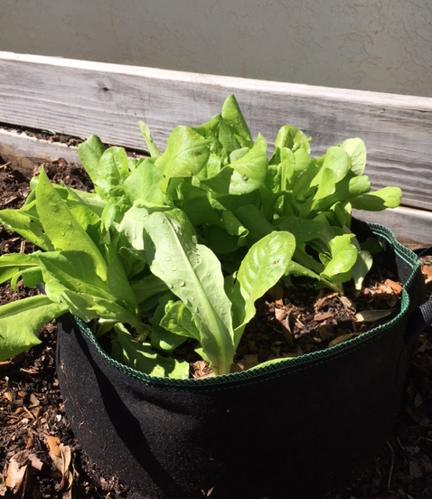 lettuce growing in a fabric pot