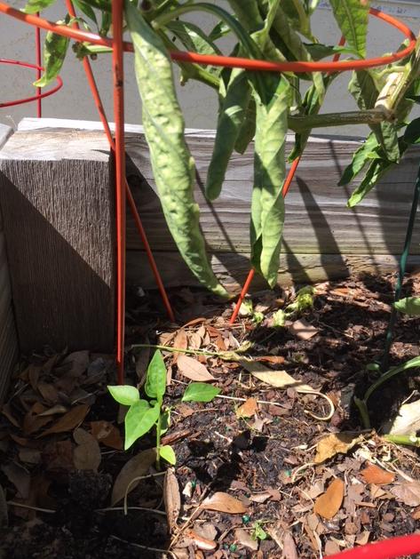 little pepper plant