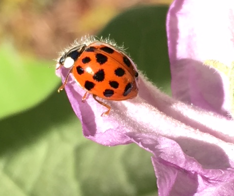 macro lady bug beetle on purple eggplant flower