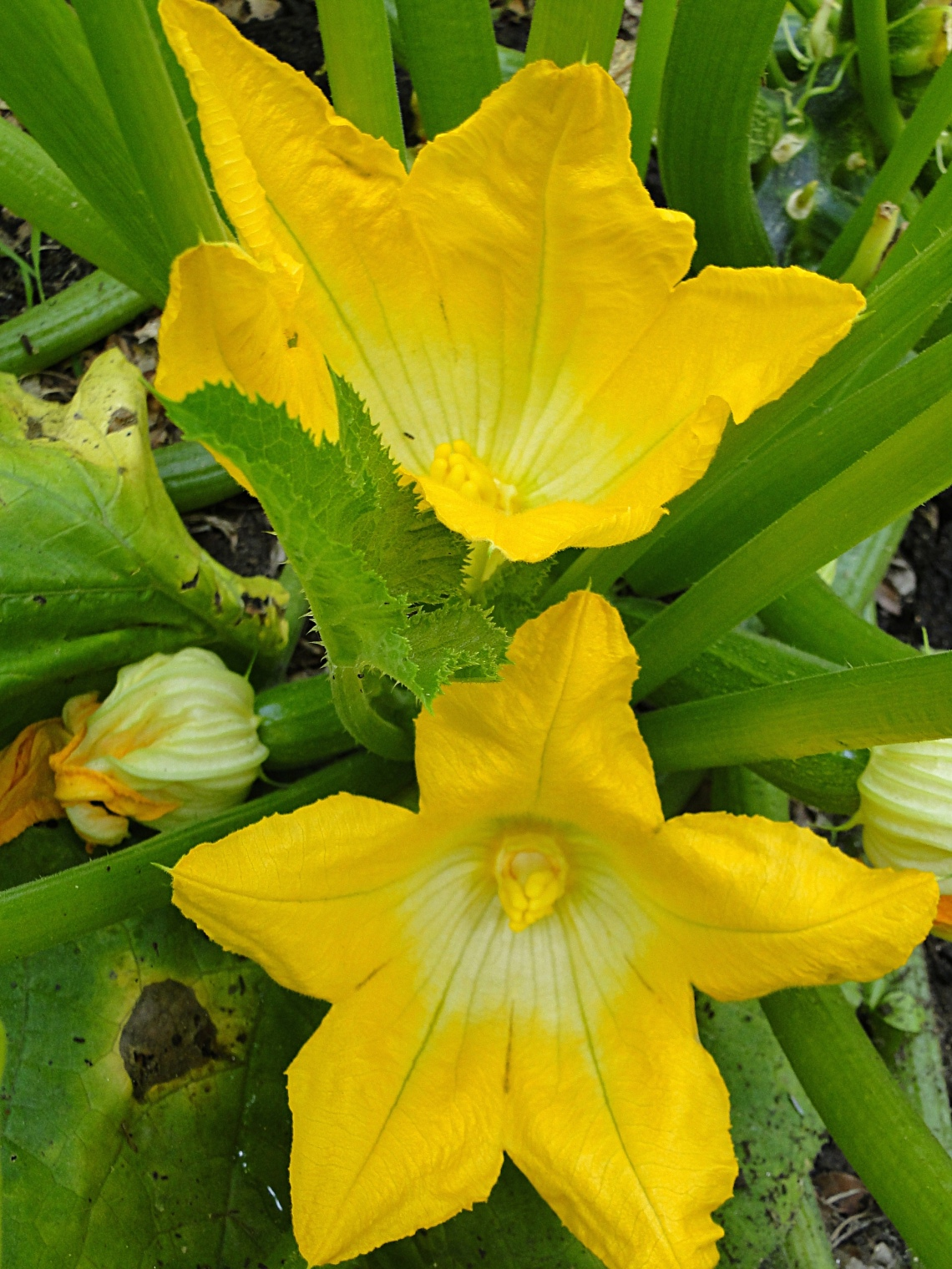summer squash plant with yellow flowers